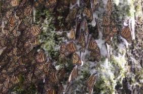 mariposas monarca hielo
